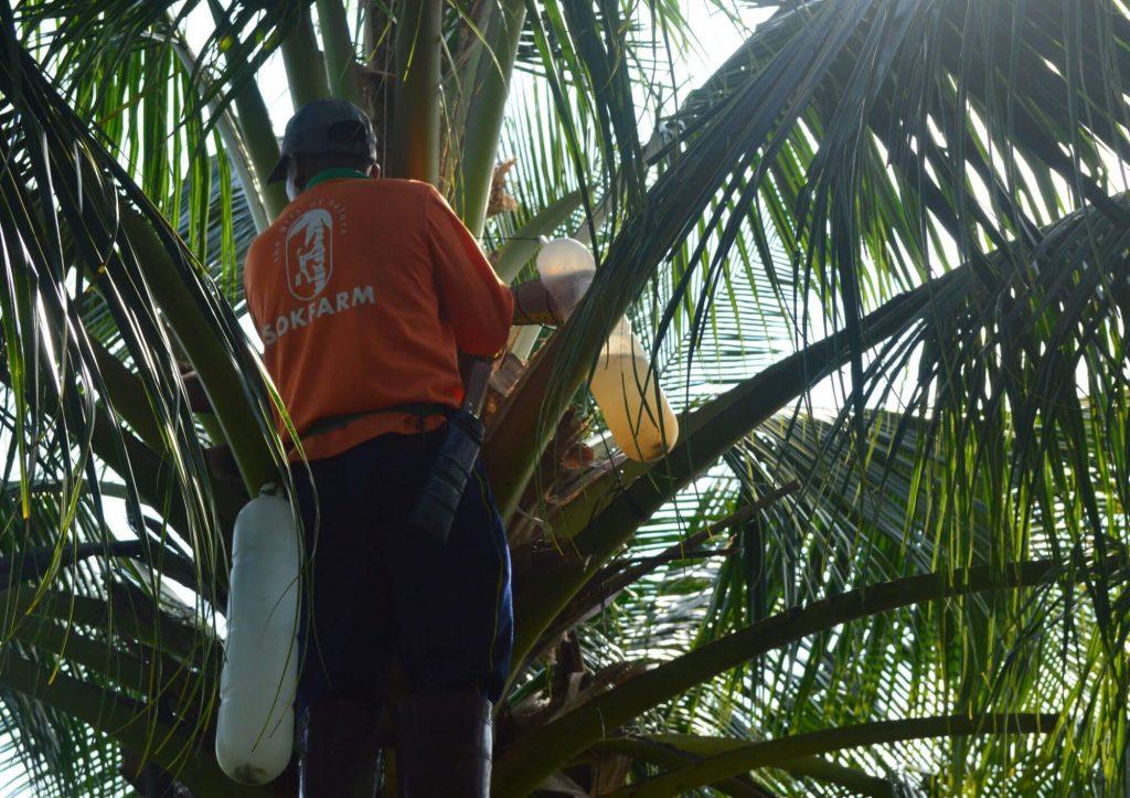 Công nhân lấy mật hoa dừa