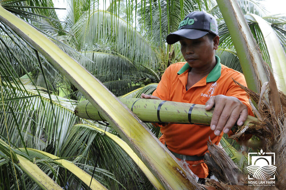 Công nhân đang mát xa hoa dừa thu nước mật